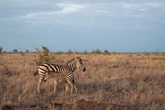 Burchell's zebra (hillarycarter) Tags: burchellszebra