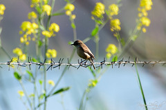 Asian Brown Flyctacher (_DSF6263) (Param-Roving-Photog) Tags: flowers bird fence asian wire wildlife punjab wetland fiels brownflycatcher ropar