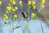 Asian Brown Flyctacher (_DSF6263) (Param-Roving-Photog) Tags: flowers bird fence asian wire wildlife punjab wetland fiels brownflycatcher ropar