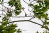 2013-07-16 TEC Flora 264 Ipomoea sp. - E.P. Mallory (B Mlry) Tags: tec belize belizezoo ca45 convolvulaceae calyx ipomoeasp leavesopposite lflowersurfacelightgreen myrtaceae s1 simpleleaf simplefruit tbz tropicaleducationcenter abaxialdistinctivelylighterthanadaxial axillaryinflorescences capsule cauliflorous dehiscentdryfruit fasciculateinflorescence fuzzystem habit hairysepals leafveinsswollenunderneath offtrail pedunclehairy pellucidpunctations revolutemargin seedpod seedswithhairs stigma surface tree type vid vine whitepetals whitestamens whitestigma yellowcalyx