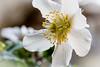 Christrose (urs.wirth) Tags: flower staubblätter stempel blüte helleborusniger christrose weiss white