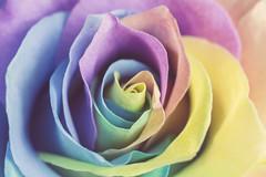 293 (Rafi Moreno) Tags: flowers flores arcoiris canon vintage hipster pale retro rosas multicolor rafi rese 365proyect proyecto365fotos