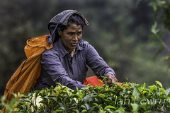 Sri Lankan tea picker putting in a hard days work. (Ian Lewry Photographer) Tags: work asia tea sri lanka srilanka picker teapicker lewry ianlewry