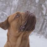 Dogue de Bordeaux. thumbnail