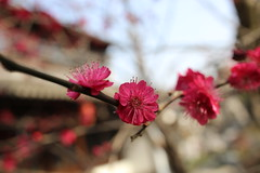 Plum blossoms (vermillionhorizon) Tags: china flowers garden shanghai ume plumblossoms nanxiang
