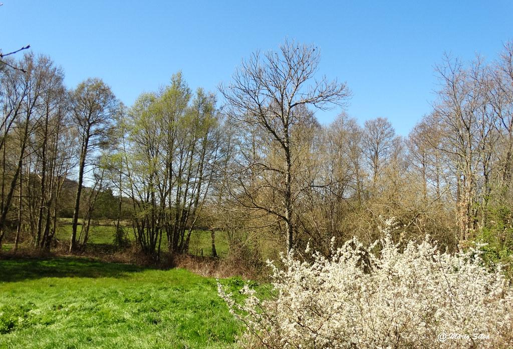 Águas Frias (Chaves) - ... campo com os arbustos floridos ...