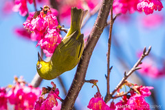 Zosterops Japonicus in Huashan / Taipei, Taiwan (yameme) Tags: bird nature animal sony taiwan evil sakura cherryblossoms taipei alpha    zosteropsjaponicus       nex  mirrorless huashan1914creativepark emount nex6 fe70200mmf4