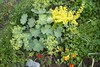 cotoneaster and lady's mantle (Sharon Levin) Tags: garden cotoneaster ladysmantle