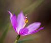 Waiting for the sun (eddm1962) Tags: pollen yakimawa spidersilk grasswidow cowichecanyon