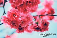 Taiwan Cherry&Bee (Whitefox Chen) Tags: sun sunlight flower tree canon taiwan bee sakura taipei     zhonghe  canon70300mm