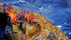 Puerto Baquerizo Moreno, San Cristbal, Galapagos (ser_is_snarkish) Tags: galapagos sallylightfootcrab sancristbal puertobaquerizomoreno