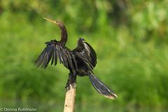 Anhinga - Amazon Basin (Donna Hampshire) Tags: darter anhinga anhingaanhinga snakebird amazonbasin waterturkey americandarter ecuadorbirds southamericanbirds napowildlifecentre donnarobinson canon7dii donnahampshire