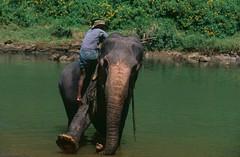 Sri-Lanka-Elephants (Mobile/WhatsApp:00919495509009) Tags: بحيرة ساحل سفر مريح هندي رحلة مطر حيوان طبيعة بحر جو طيور نمر محيط عشب نهر وحش بيئة أسود بركة قرية بساطة غابات خليج سياحة كلاب خضراء مر باك ساحلية ببر نقي سيرلانكا طقس هواء سريلانكا قرود ثيران أفيال فيال