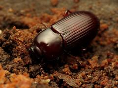 The other Uloma, I think (treegrow) Tags: nature insect washingtondc beetle rockcreekpark arthropoda coleoptera tenebrionidae lifeonearth raynoxdcr250 canonpowershotsx40hs ulomaimpressa taxonomy:binomial=ulomaimpressa