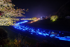 20160305-DSC_2352.jpg (d3_plus) Tags: street sea sky plant flower nature japan spring nikon scenery nightshot cloudy bloom  cherryblossom  sakura lightup nightview 28105mmf3545d nikkor    shizuoka    izu   28105   rapeblossom    28105mm  zoomlense  minamiizu    kawazuzakura    28105mmf3545 d700 281053545  nikond700 shimokamo aiafzoomnikkor28105mmf3545d nightcherryblossom 28105mmf3545af    southcherryblossomandrapeblossomfestival aiafnikkor28105mmf3545d shootingstarsandsakurainnight sakurainnight