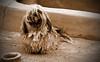 * Chewbacca junior * (-ABLOK-) Tags: dog chien animal fun cool funny morocco maroc chewbacca wesh doogy