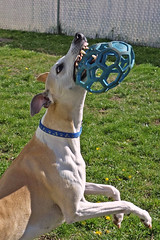 Great Catch (DiamondBonz) Tags: dog ball fun play hound whippet spanky