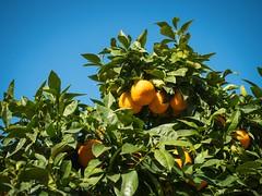 Orange (Burnett0305) Tags: spain olympus mallorca spanien majorca balearicislands illesbalears sller 1240 balearischeinseln mzuiko olympusomdem5markii mzuikodigitaled1240mm128pro