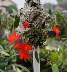 Sophronitis acuensis (cieneguitan) Tags: red flower flora cattleya orkid okid angrek anggerek