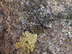 Camo extraordinaire! (tessab101) Tags: garden spider spiders arachnid australia nsw wildflower arthropods kuringgai