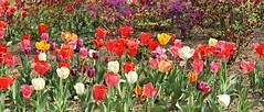 Sherwood Gardens ~ Happy Earth Day (karma (Karen)) Tags: flowers azaleas tulips maryland baltimore brightcolors bushes sherwoodgardens 4spring