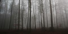 rotbuchenwald im nebel 0556 (s.alt) Tags: rot fog bayern europa nebel silence fagus buche laubbaum rotbuche rotbuchenwald rtlichefrbung