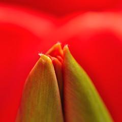 Tulipa (nirak68) Tags: red rot deutschland blossom petal tulip bud lbeck blte tulipa tulpe knospe bltenblatt 113366 schleswigholsteinkreisfreiehansestadtlbeck c2016karinslinsede