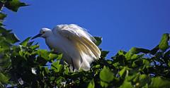 Ruffled (F.emme) Tags: birds snowyegret egrets