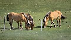 Pretty Little Horses (L E Dye) Tags: summer horses canada rural fence nikon alberta prairie d5100 fencefriday ledye