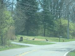 3/26/16 - Zion Rd.: Wild Turkeys (mavra_chang) Tags: birds animals turkeys wildturkeys