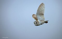 Barn Owls-Tyto alba. (PANDOOZY PHOTOS) Tags: uk nature birds spring wildlife flight raptor gb raptors owls barnowl birdofprey tytoalba strigiformes barnowls tytonidae