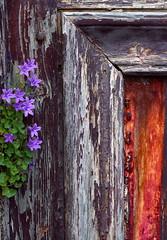 Quand tout s'emmle (Nadia L*) Tags: door wood flowers fleurs colours couleurs porte bois