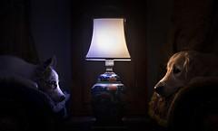 Ciri&Kiara  (Alicja Zmysowska) Tags: dog dogs golden collie border retriever rimlight