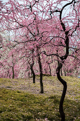 20160229-105950_5K_80 (pya) Tags: kyoto  camellia plumblossoms jonangu     weepingplumblossoms