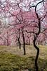 20160229-105950_5K_80 (pya) Tags: kyoto 京都 camellia plumblossoms jonangu 梅花 茶花 城南宮 椿花 weepingplumblossoms