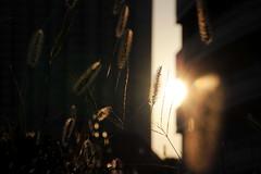3 (Yorozuna / ) Tags: plant grass silhouette japan tokyo evening weed                 setariaviridis   kawadacho    shinjukuward