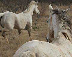 This Is Hip Pretty Baby (It Feels Like Rain) Tags: ranch horses horse texas westtexas equine ranches aqha texasranches americanquarterhorseassociation thisiship shannoncardalines messedaroundandfellinlove