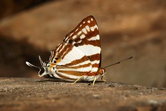 White Punch (Dodona deodata, Riodinidae) (John Horstman (itchydogimages, SINOBUG)) Tags: china brown macro topf25 butterfly insect topf50 top lepidoptera punch yunnan riodinidae tumblr itchydogimages sinobug