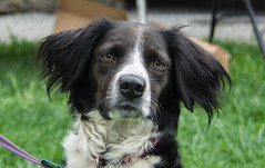 Lily (Black Hound) Tags: dog sony a500 springtonmanor