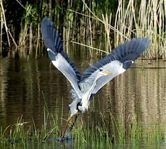 Lift off (robbie20161) Tags: water birds animals wales outdoors countryside wetlands ardeacinerea cardigan greyheron