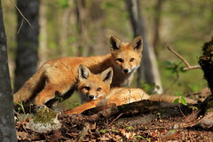 Watcha Looking At? (mike.norkum@gmail.com) Tags: fox foxkit