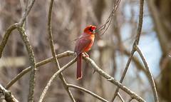 840A3846 (rpealit) Tags: bird nature field scenery cardinal wildlife east northern alumni hatchery hackettstown