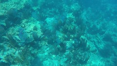 Snorkeling in Looe Key, FL - Sea Fans -  4.30.16 (carissaconti) Tags: ocean sea fish keys florida tropical looe seafan