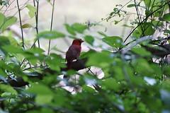 DSC09728 (Capt Kodak) Tags: spring cardinal nationalparkservice chattahoocheerivernationalrecreationarea medlockbridgepark