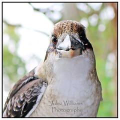 Kookaburra (juliewilliams11) Tags: bird outdoor border kookaburra mallabula