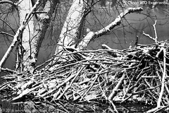 Canon 80D - IMG_1180-05s (dojoklo) Tags: trees blackandwhite test lake snow water monochrome canon ma eos sticks pond focus raw dam massachusetts beaver experience af mass concord jpeg beaverdam firstlook autofocus focusing greatmeadowsnationalwildliferefuge 80d canon80dexperience