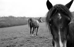 MINOLTA AF 7000 Minolta f4 35 70 Agfa APX 400 New LC29 (Leinik) Tags: new horses horse cheval minolta 400 af agfa 35 70 apx f4 7000 cheveaux lc29