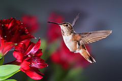 A New Allen's (Patricia Ware) Tags: california canon backyard bravo tripod birdsinflight fullframe manhattanbeach allenshummingbird selasphorussasin multipleflash specanimal httppwarezenfoliocom 2016patriciawareallrightsreserved