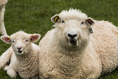 Say what? (mrstaton) Tags: green wool nature grass canon spring sheep lamb eastsussex steyning southdownsway chanctonburyring canoneos70d canon70d