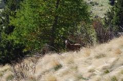 Male red deer (Morze.Stefano) Tags: red deer rosso reale cervo cervus nobile elaphus